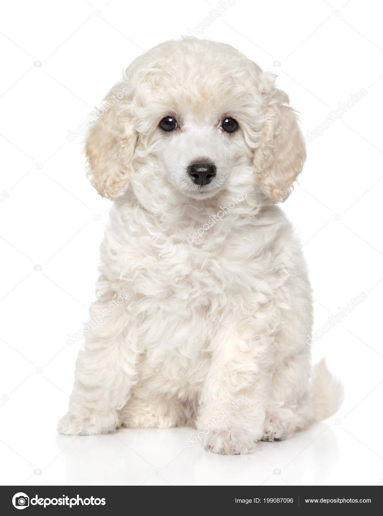 Pmages Baby Poodles Cute Toy Poodle Puppy Sits Front White Background Baby Animal Stock Photo C Fotojagodka 199087096