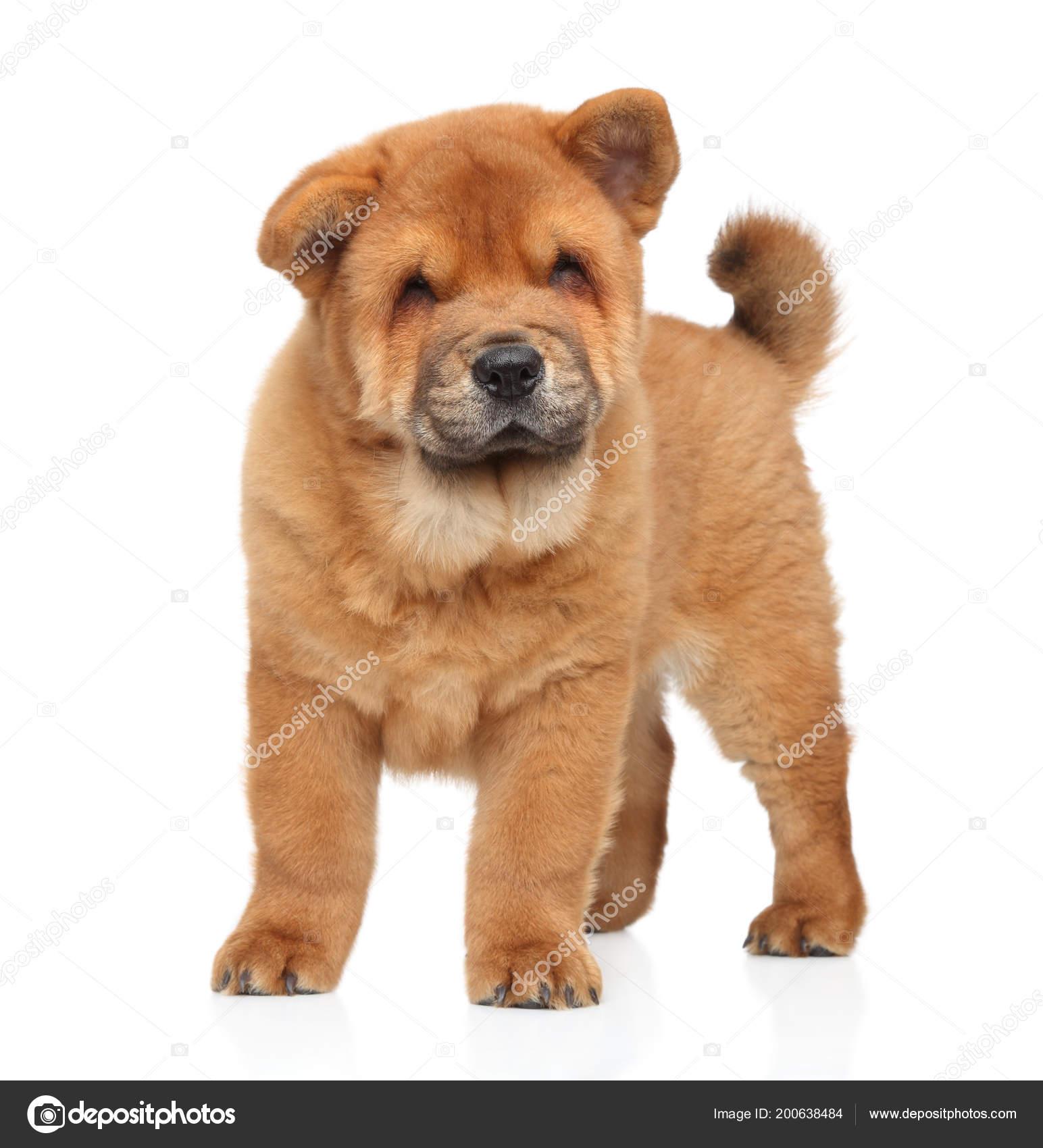 Chinese Chow Chow Puppy White Background Stockfoto C Fotojagodka