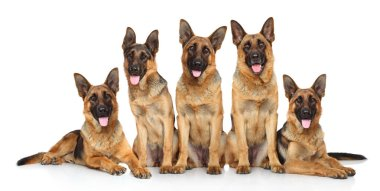 German Shepherd puppies posing on white background.
