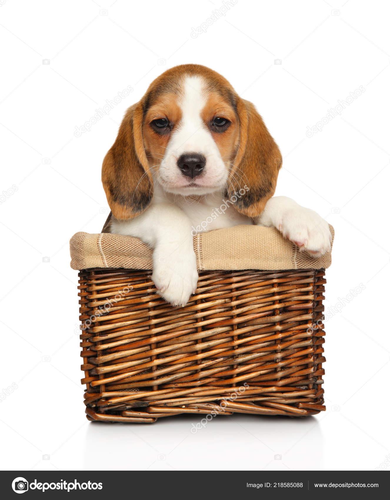 Beagle Puppy Wicker Basket White Background Baby Animal Theme Stock Photo C Fotojagodka 218585088
