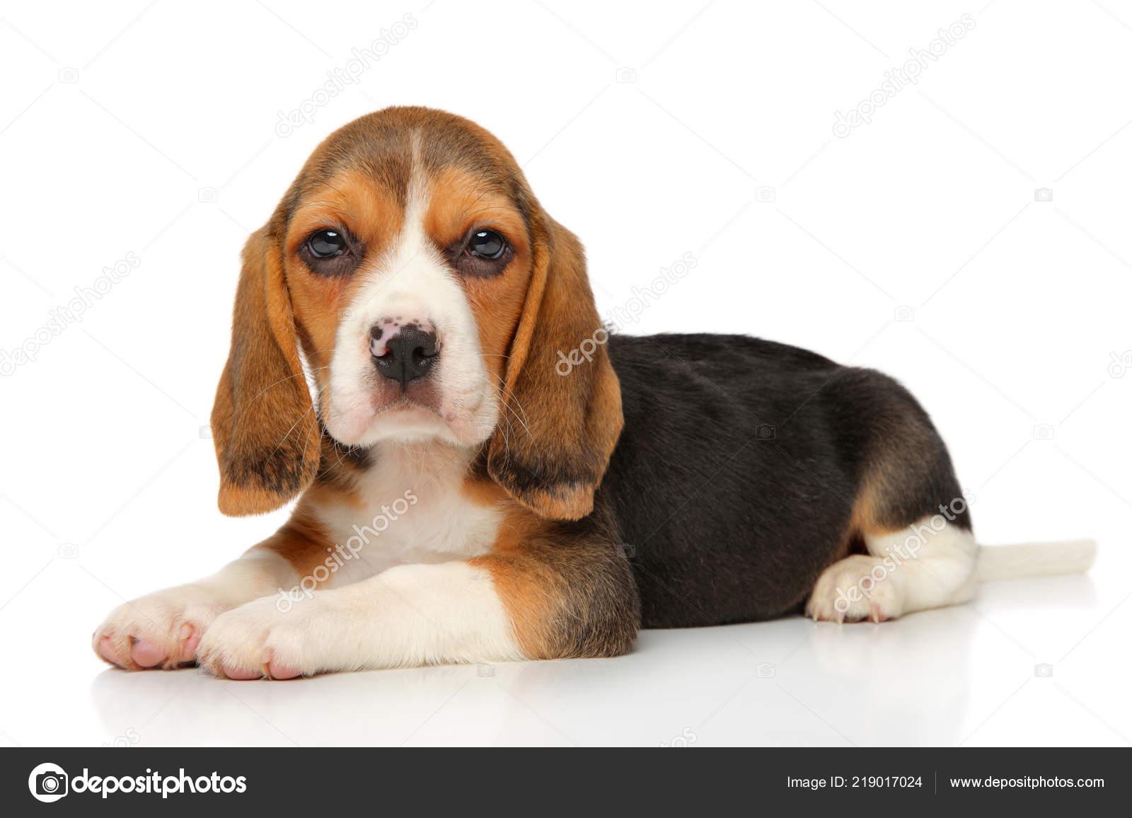 Cute Baby Beagles Beagle Puppy Lying White Background Baby Animal Theme Stock Photo C Fotojagodka 219017024