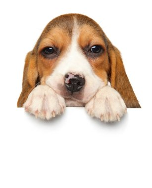 Adorable Beagle puppy above banner isolated on white background. Baby animal theme