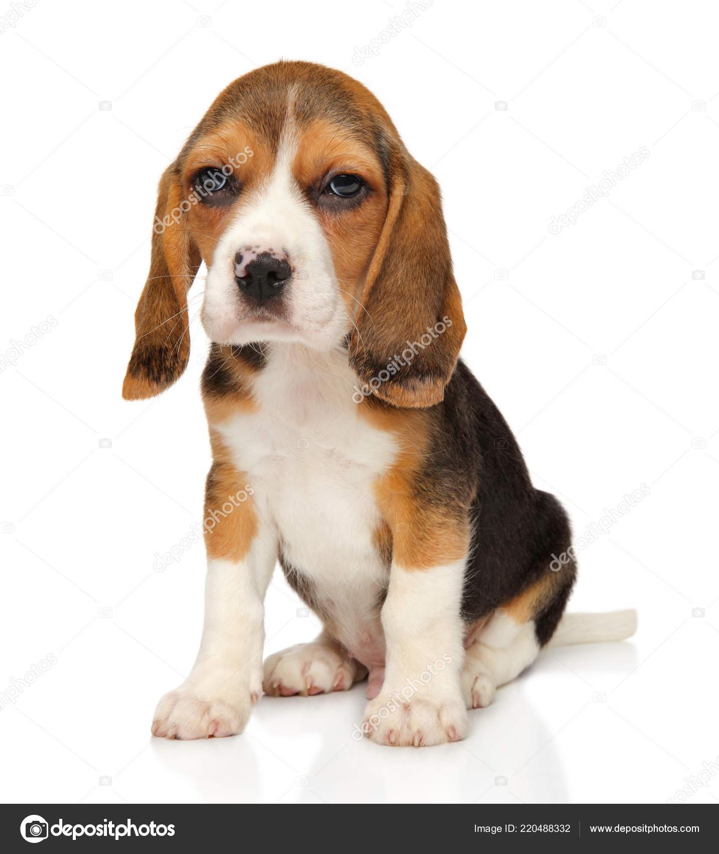 Pmages Baby Beagles Beagle Puppy Sits White Background Baby Animal Theme Stock Photo C Fotojagodka 220488332