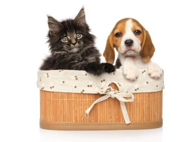 Maine-coon Kitten and Beagle puppy together in basket on a white background