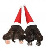 Spící štěňata Stafordšírského bulteriéra v Santa červenou čepici. Zadní pohled, bílé pozadí