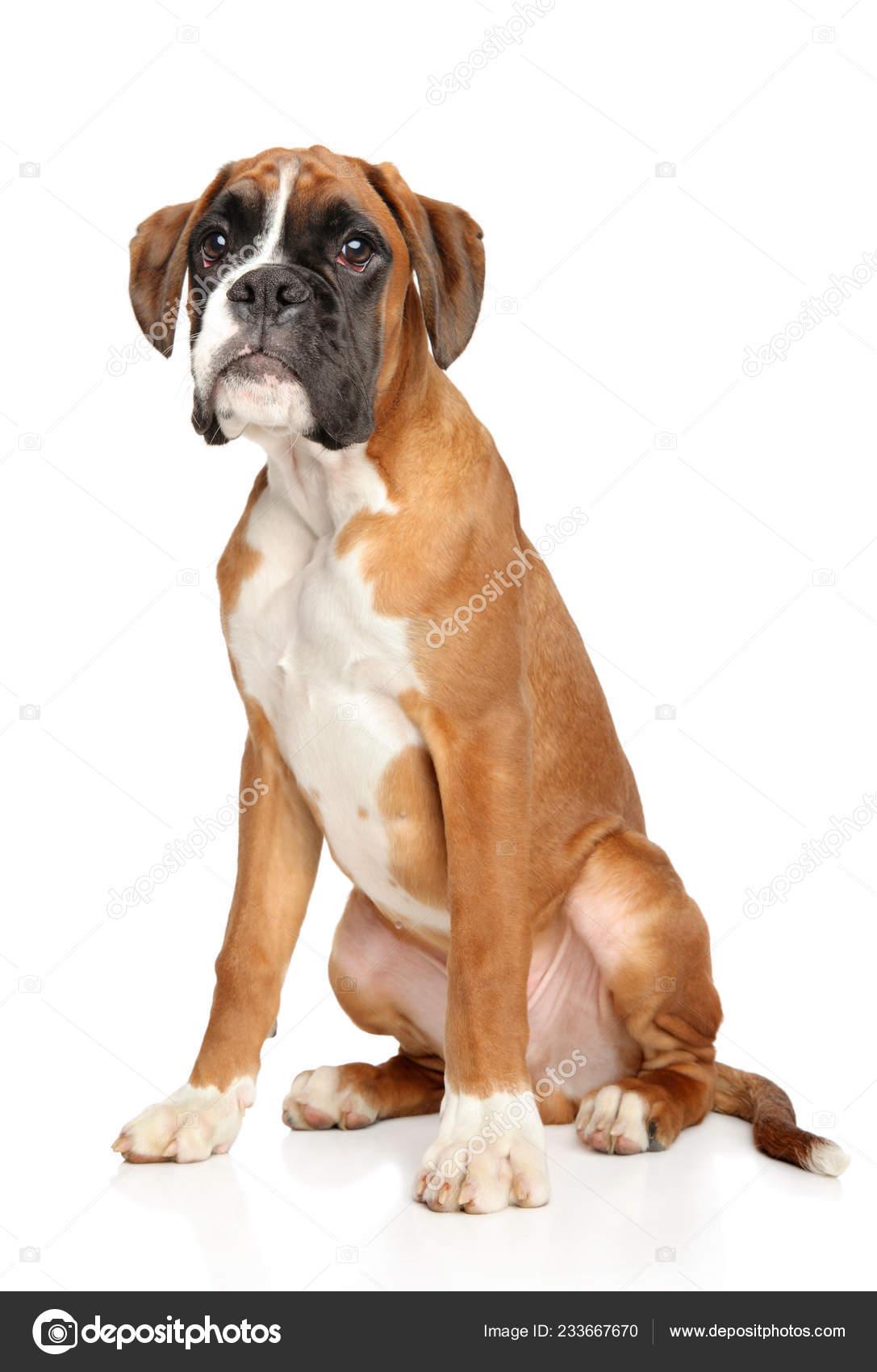 Sad Young German Boxer Puppy Stock Photo C Fotojagodka 233667670