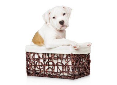 American Staffordshire terrier puppy in basket