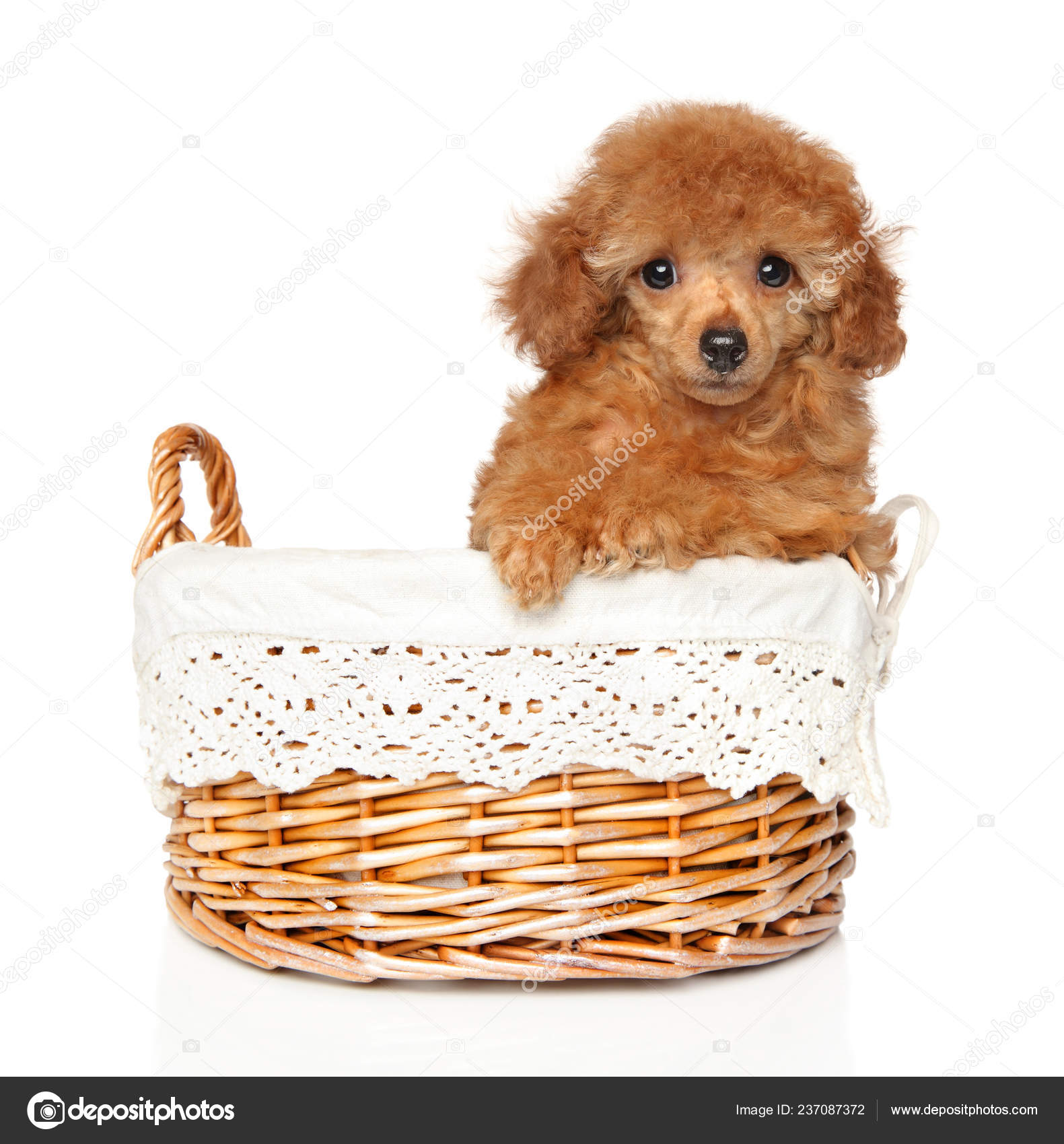 Pictures Baby Toy Poodles Portrait Red Toy Poodle Puppy White Background Baby Animal Theme Stock Photo C Fotojagodka 237087372