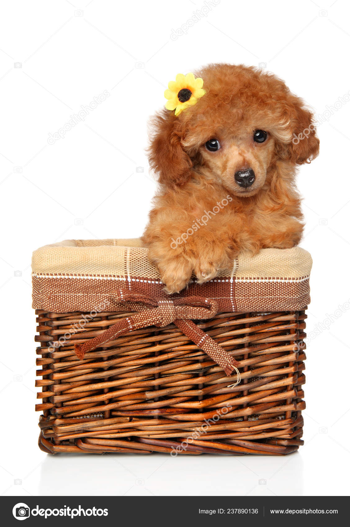 Baby Red Toy Poodle Red Toy Poodle Puppy Posing Wicker Basket Baby Animal Theme Stock Photo C Fotojagodka 237890136
