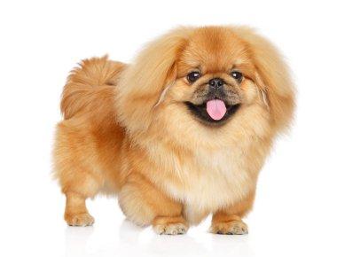Cute Pekingese puppy