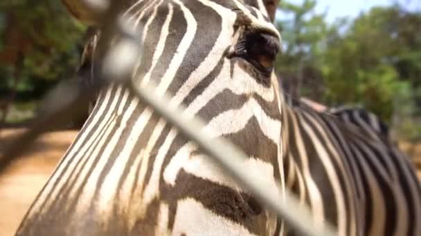 Az állatkert evés zebra