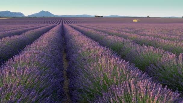 Posouvání záběr levandulová pole v dopoledních hodinách. Náhorní plošina Valensole. Provence, Francie