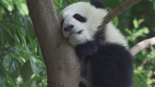 Panda baby bear sleeping on the tree