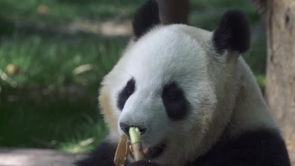 Giant Panda eating bamboo. 4K, UHD