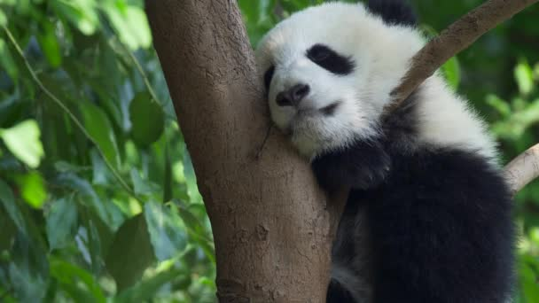Adorable and funny baby panda sleeping on a tree, swaying. Green juicy leaves background. 4K, UHD