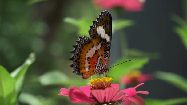 baf688733debd Gros plan d'un papillon orange et blanc sucer miel-rosée d'une fleur rose.  HD– séquence vidéo
