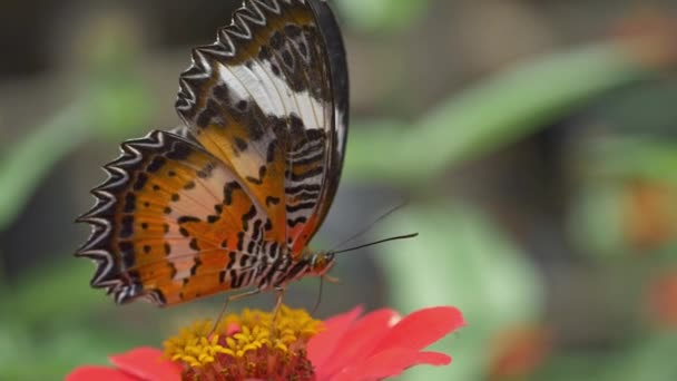 Macro shot of a colorful butterfly drinking flowery juice. Slow motion