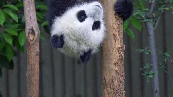 Funny panda baby hangs upside down on a log and then gets down. 4K, UHD