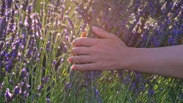 Zenske ruce pomalu a jemně hladil květy fialové levandule v ranním slunci. Pole levandule v Provence, Francie. Zpomalený pohyb close-up shot