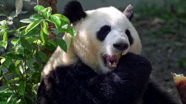 Adult panda thoroughly chewing bamboo. 4K, UHD
