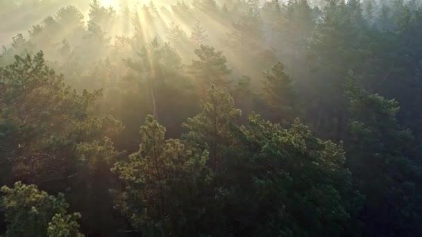 Gyors légi felvétel egy Ködös reggel fenyőerdő. Nap sugarai jön fák.