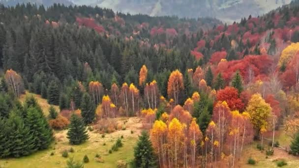 Autumn concept. Aerial shot of multi-colored coniferous pine trees in autumn misty mountains.