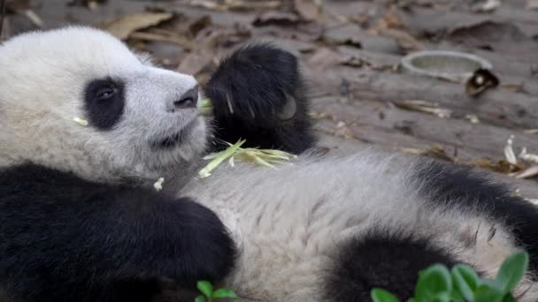 Funny Baby Panda Shot In Chengdu China A Young Adorable Giant Panda Lying On Its Back Relaxed And Eating Bamboo Lazily Uhd Stock Video C Silverjohn 231051470
