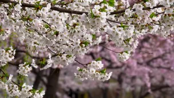 Jarní příroda pozadí s květy sakura. Krásné a jemné bílé květy Sakura třepání ve větru, růžová sakura zacílení na pozadí, v Soulu, Jižní Korea. Posouvání výstřel, Uhd