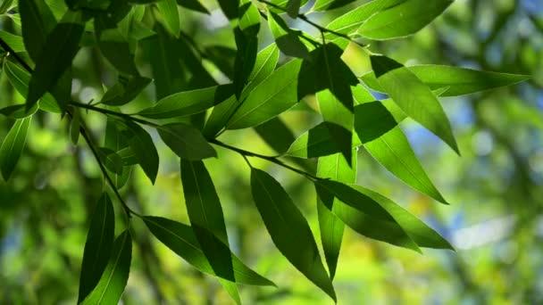 Zelené listí stromu na jaře. Krásné barevné bokeh vyrobeny ze stromů mávat ve větru. Zpomalený záběr