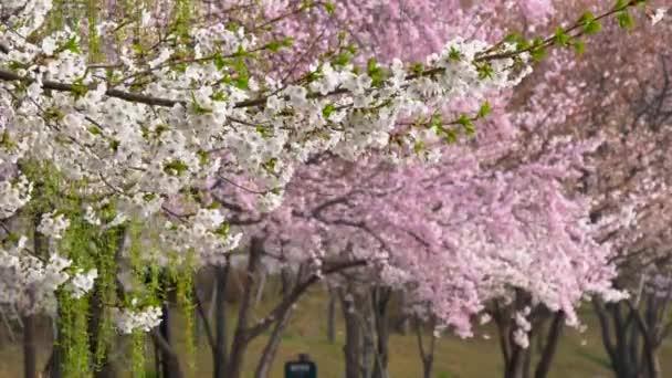 Soul, Jižní Korea. Kvetoucí sakura a ivy mávat ve větru. 4k
