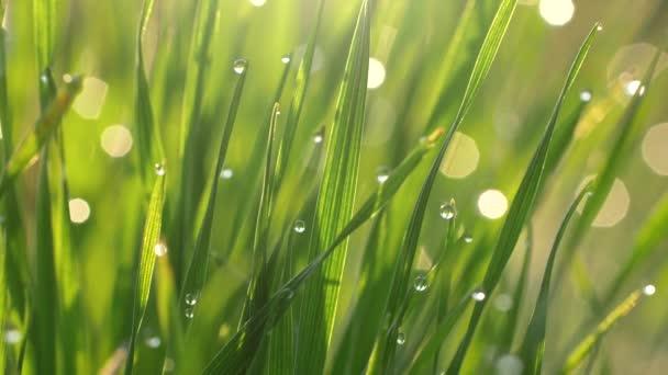 Zelená tráva s kapkami nebo odtoky z pozadí. Koncepce přírody v ranních světlech východu slunce