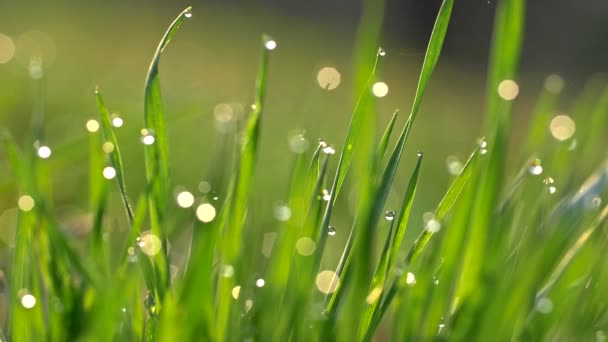 Camera moving through meadow with fresh green grass with water drops early in the morning