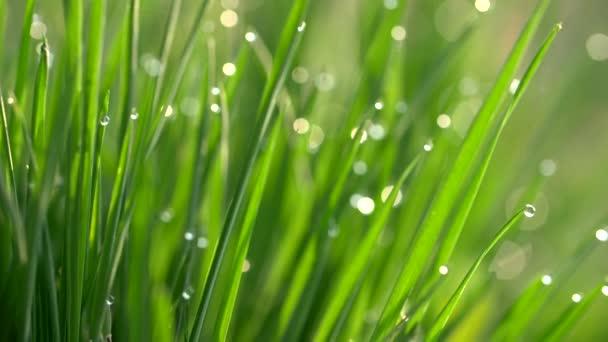 Z čerstvé jarní trávy se pak kapky rosy. Nový koncept