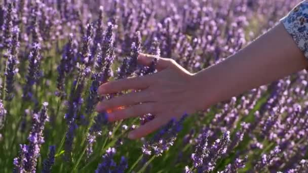 Female hand slowly and tenderly caressing purple flowers of lavender during a bright sunny day in Provence, France. 4K