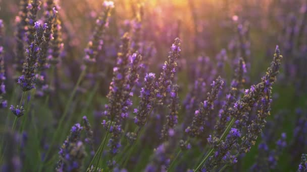 Provence, Francie. Purpurové levandulové květy zářily v zapadajícího slunci. Záběr na zblízka, UHD