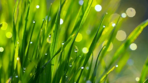 Tautropfen auf dem Rasen, die in den Morgensonnenstrahlen leuchten. Gras weht im Wind. Zeitlupenschuss