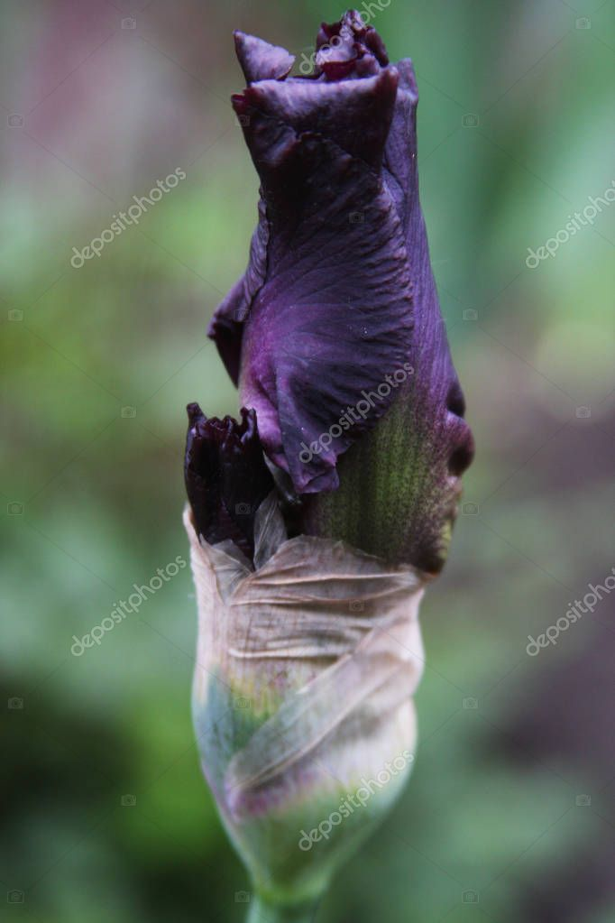 Dark blue bearded iris flower