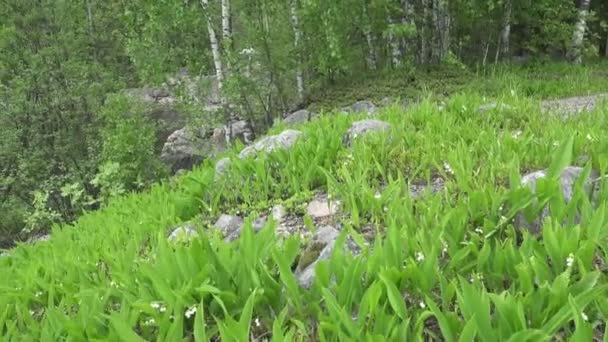 camera moves on the spring wood lengthways a glade with leaves of a lily of the valley