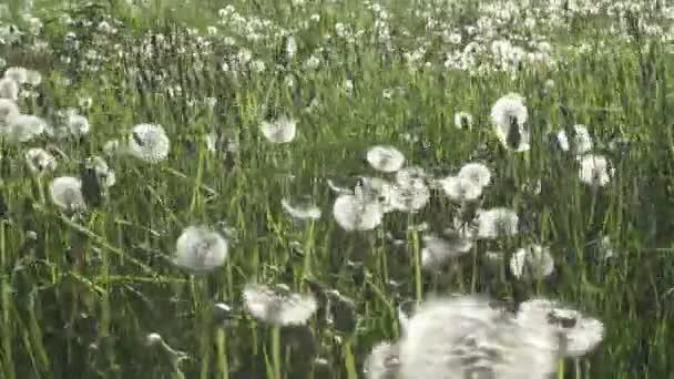 fehér pitypang mezőben a nyári napsütésben a háttérben az ég, fehér felhők sétára gimbal stabilizátor