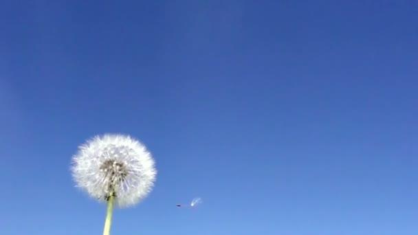 Vítr fouká z fuzzes s semena z bílého Pampeliška na pozadí modré oblohy, zpomalené
