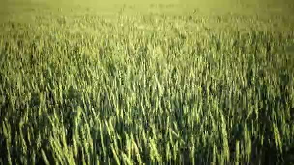 Vítr Panorama houpačky uši zelené pšenice v létě slunečný den
