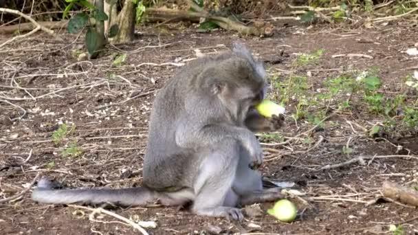 Krab jíst makaků, Macaca fascicularis, také známý jako dlouho ocasem makak