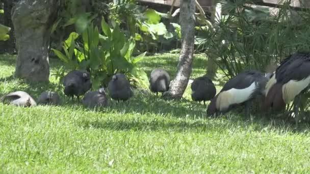 Perliček guinejských kuře na zelené trávě