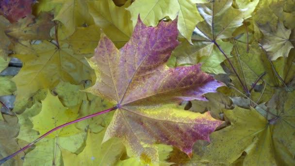 Wassertropfen eines Regens fallen an sonnigen Herbsttagen auf die roten und gelben Blätter eines Ahorns, die auf einem Holzboden liegen