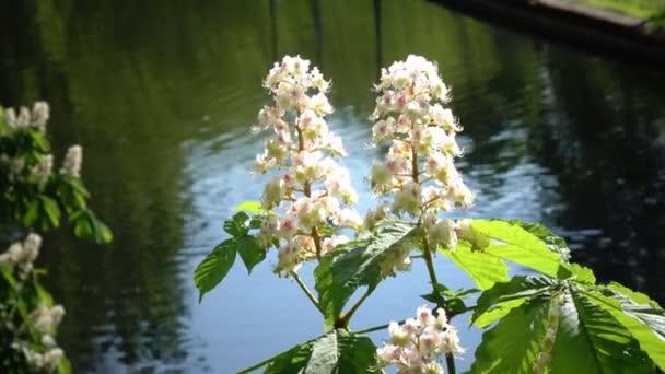 Kaštanový strom Chromakey. Kvetoucí kaštany. Kýval větvemi květenství kaštany. Chroma slunečný den. Větve stromu kaštan s květinami a zelenými listy
