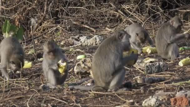Krab-jíst macaque, Macaca fascicularis, také známý jako dlouhoocasý macaque, Sangeh Monkey Forest Bali