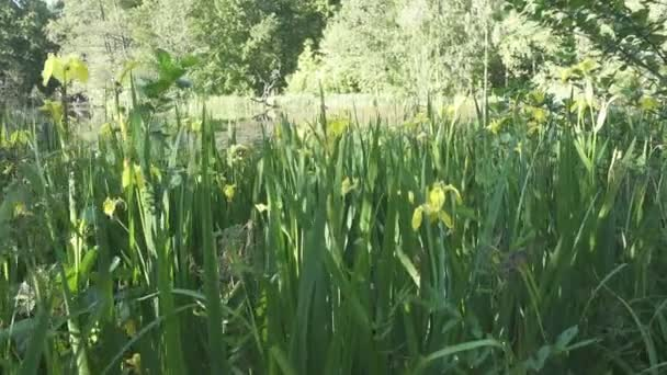 Iris pseudacorus yellow flag, yellow iris, water flag, lever is a species in the genus Iris, of the family Iridaceae on the bank of the lake in sunny day