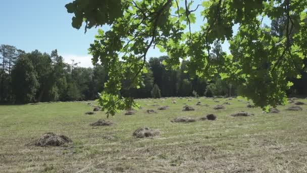 camera moves on an edge of the wood removing through oak leaves a field with haystacks in summer sunny day