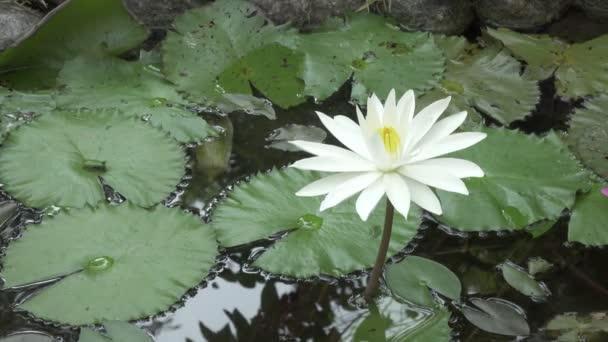 A háttérben a víz és a zöld levelek reggel fehér lótusz virág
