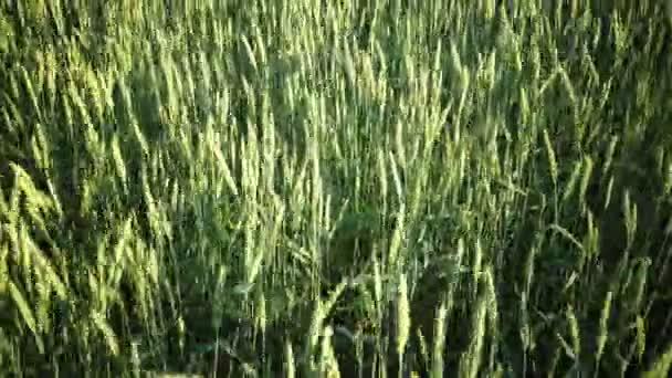 V letním slunném dnu se na panoráma střídalo uši zelené pšenice.